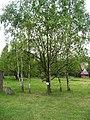 Řepora, posvátný strom.jpg