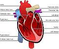 Širdies sandara.jpg