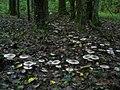 Говорушки в еловом лесу - panoramio.jpg