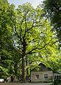 Група вікових дерев дуба 16.jpg