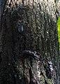 Жуки-олені розмноження та годівля 10.jpg
