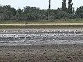 Зграя чайок на озері Солонець-Тузли.JPG