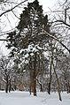Кипарисовик Сухіна взимку 01.jpg
