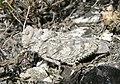 Кобилка азійська степова, рідкісний вид у балці.jpg