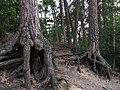 Корни вековых сосен в береговых обрывах Нижнего пруда на реке Горенка.jpg