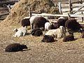 Овцы карачаевские.jpg