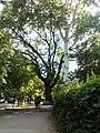Петропавлівський дуб.jpg