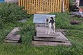 Пёс в Подберезье.jpg