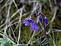 Сольданелла - Soldanella rhodopaea - Snowbell - Родопско крайснежно звънче - Alpenglöckchen (17731594629).jpg