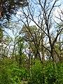 Територія проектованого заказника Чернечий ліс у 2007 році (6).jpg