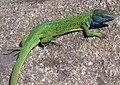 Ящірка зелена самець. Запоріжжя.jpg