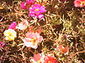 گلهای رنگارنگ.JPG