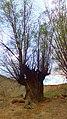 یک درخت که انسانی درخت گونه در زیر آن خوابیده - panoramio.jpg