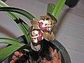 報歲紅頂荷 Cymbidium sinense 'Red-Top Lotus' -香港沙田國蘭展 Shatin Orchid Show, Hong Kong- (12247700875).jpg