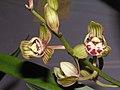 建蘭荷瓣 Cymbidium ensifolium Lotus-series -香港沙田國蘭展 Shatin Orchid Show, Hong Kong- (9252408421).jpg