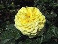 月季-太陽仙子 Rosa Sunsprite -深圳人民公園 Shenzhen Renmin Park, China- (41019605910).jpg