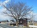 橿原市にて 新河原橋南詰の桜の木 2012.2.17 - panoramio.jpg