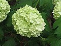 歐洲繡球莢迷 Viburnum opulus -荷蘭 Keukenhof Flower Show, Holland- (9222671810).jpg