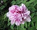 江南牡丹-雀好 Paeonia suffruticosa -上海古猗園 Shanghai, China - (17209200482).jpg