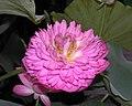 混種蓮 Nelumbo nucifera hybrid -香港公園 Hong Kong Park- (12338315805).jpg