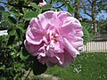 玫瑰 Rosa Konigin Von Danemark -巴黎植物園 Jardin des Plantes, Paris- (9166019182).jpg