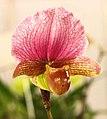 紅旗兜蘭 Paphiopedilum charlesworthii -台南國際蘭展 Taiwan International Orchid Show- (40859233172).jpg