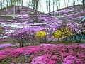 芝桜(Ground pink) - panoramio.jpg