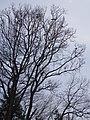 西吉野町百谷にて Tree of crows 2013.3.22 - panoramio.jpg