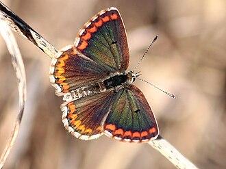 "Enchanted Moura - ""poisámoira"" or mariposa"