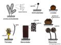 08 04 conceptos morfológicos, ordenes de Myxomycota (M. Piepenbring).png
