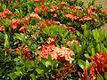 09019jfClose-ups of butterflies on flowers Bulacanfvf 02.jpg