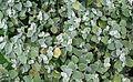 0 Helichrysum petiolare - Samoëns.JPG