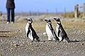 145 - Cap Virgenes - Manchot de Magellan - Janvier 2010.JPG
