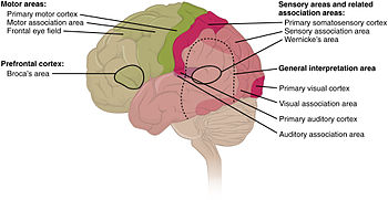 human brain wikipedia blank axon diagram