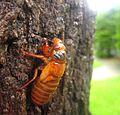17-year periodical cicada (Magicicada septendecim) 2013a.jpg
