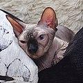 1 adult cat Sphynx. img 032.jpg