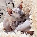 1 adult cat Sphynx. img 044.jpg