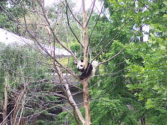 Tai Shan (giant panda) - Tai Shan in his favorite tree in June 2006