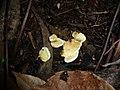 2007-03-29 Tapinella panuoides (Batsch) E.-J. Gilbert 202558.jpg