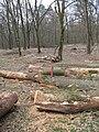 2009-04 Санітарними рубками намагаться знищити найцінніші дерева проектованого заказника Чернечий ліс (4).jpg