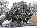 2011-10-29 13 15 00 04 A Norway Maple along Terrace Boulevard with 1.3 inches of snow on the ground during the 2011 Halloween nor'easter in Ewing Township, Mercer County, New Jersey.jpg