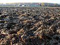 20111031gepfluegtes Maisfeld Hockenheim3.jpg
