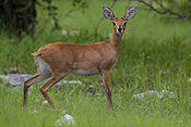 2012-Steenbok-female.jpg
