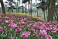 2014-04-04 石象湖 郁金香 liuzusai - panoramio (6).jpg
