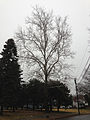 2014-12-24 15 12 41 American Sycamore along Bayberry Road in Ewing, New Jersey.JPG