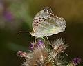 2014.07.17.-13-Zadlitzgraben Pressel--Kaisermantel-Weibchen.jpg