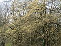 20140325Carpinus betulus2.jpg