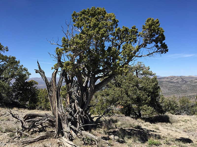 File:2015-04-27 12 54 06 An older Utah Juniper on the north wall of Maverick Canyon, Nevada.jpg