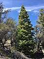 2015-04-28 11 47 24 An older White Fir on the south wall of Maverick Canyon, Nevada.jpg
