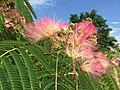 2015-06-13 16 14 29 Mimosa flowers along Old Ox Road (Virginia State Secondary Route 606) in Sterling, Virginia.jpg